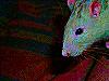 photo d'une tête de rat