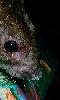 Avatar d'un rat brun