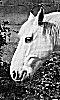 Avatar d'un cheval blanc