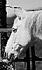 Avatar de la t&ecircte d'un cheval blanc