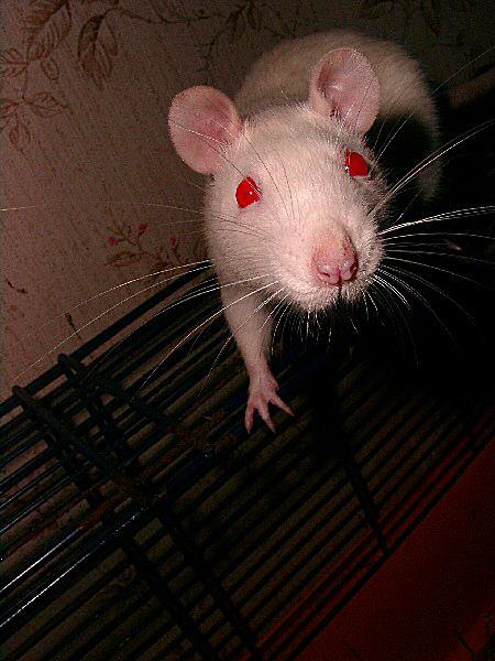 Photo des yeux rouges d 39 un rat for Interieur yeux rouge