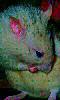 Petite de chouki, le rat domestique