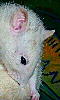 Avatar d'un rat blanc