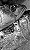 Petite photo d'un maquereau en noir et blanc.