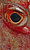 Petite photo de l'oeil d'une dorade.